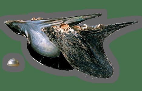「【マベ貝】」のイメージ画像